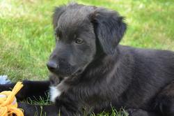 Kali, chien Berger de l'Atlas