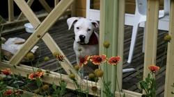 Kali, chien Bulldog