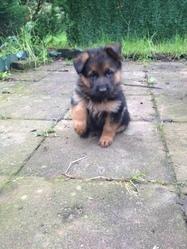 Kali, chien Berger allemand