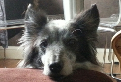Kali, chien Border Collie