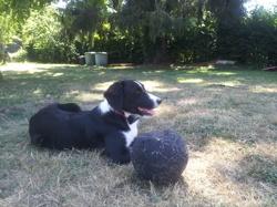 Kali, chien Berger australien