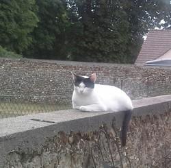 Kali, chat Européen