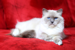 Kali De Ragdelight, chat Ragdoll