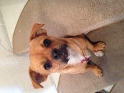 Kalia , chien Chihuahua