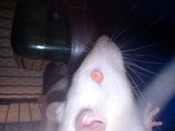 Kalie, rongeur Rat