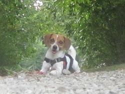 Kalie, chien Jack Russell Terrier