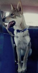Kalie, chien Chien-loup tchèque
