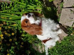 Kalie, chien Cavalier King Charles Spaniel
