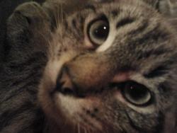 Kaliméro, chat Siamois