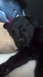 Kalinka, chien Labrador Retriever