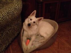 Kâlis, chien Berger blanc suisse