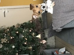 Kallie, chien Jack Russell Terrier