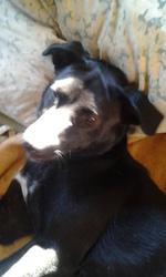 Kallie, chien Labrador Retriever