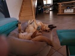 Kally, chien Berger allemand