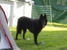 Kally, chien Berger belge