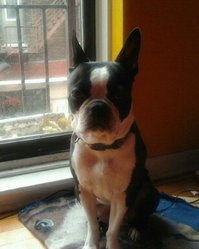 Kally, chien Terrier de Boston