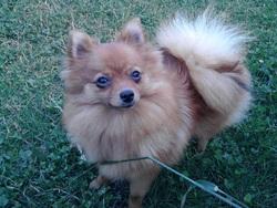 Kallysta, chien Spitz allemand