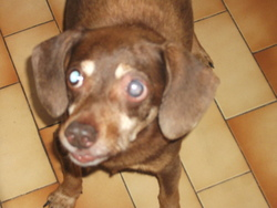 Kaloon, chien Teckel