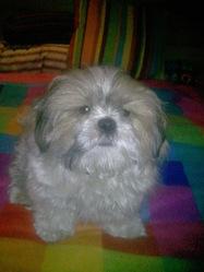 Kalou, chien Shih Tzu