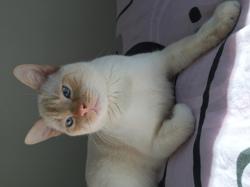 Kalouche, chat Siamois