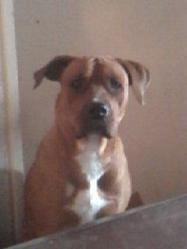 Kaly, chien Staffordshire Bull Terrier