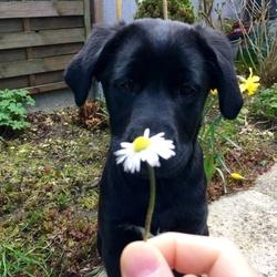 Kaly, chien Labrador Retriever