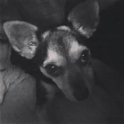 Kaly, chien Pinscher