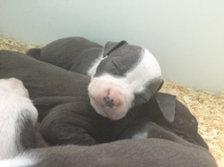 Kaly, chien American Staffordshire Terrier