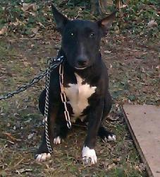 Kaly, chien Bull Terrier