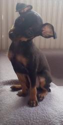 Kalya, chien Pinscher
