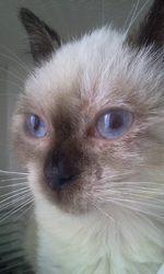 Kalyne, chat Siamois