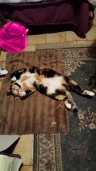 Kalyne, chat Européen