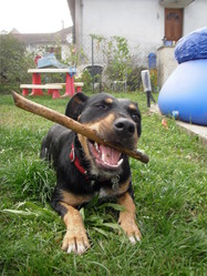 Kamii, chien Beauceron