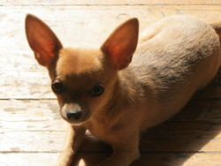 Kamille, chien Chihuahua