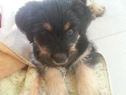 Kana, chien Beauceron