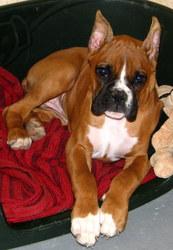 Kana, chien Boxer