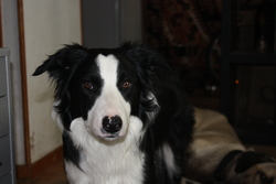 Kanai, chien Border Collie