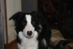 Kanai, chien Border Collie