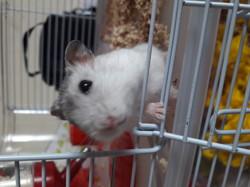 Kaneki, rongeur Hamster