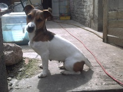 Kanel A Mon Oncle, chien Jack Russell Terrier
