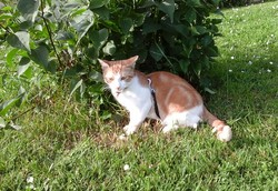 Kanel, chat Européen