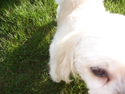 Kanelle, chien Bichon maltais