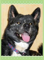 Kanji, chien Akita Inu