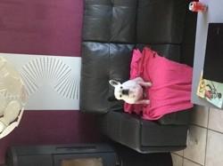 Kaol, chien Bouledogue français