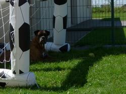 Kaos, chien Boxer