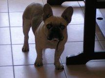 Kaoua, chien Bouledogue français