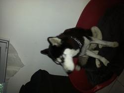 Kaprys, chien Husky sibérien