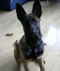 Kara, chien Berger belge