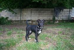Kara, chien Shiba Inu