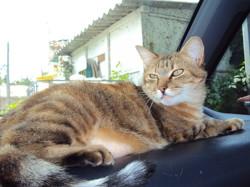 Kara, chat Européen